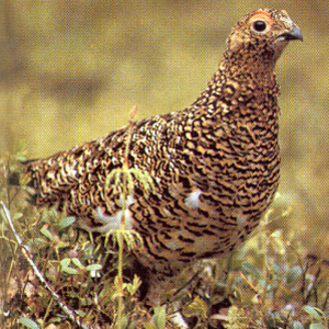 Female Willow Grouse