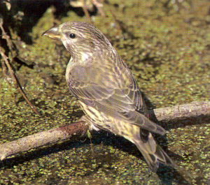 Juvenile Common Crossbill