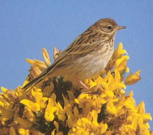 Juvenile Meadow Pipit