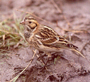 Female Adult Lapland Bunting