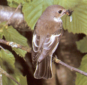 Female Adult Pied Flycatcher