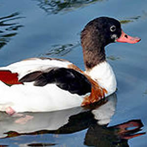 Female Adult Common Shelduck