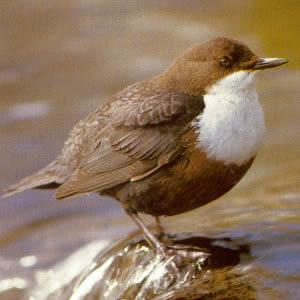 White-throated Dipper - Bagenalstown