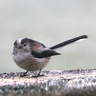 Long-tailed Tit - Herne Bay