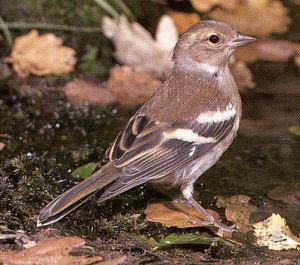 Female Chaffinch - Bradwell