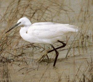 Little Egret - Pleasley Vale