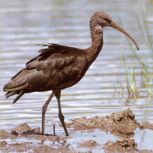 Glossy Ibis - Morro Jable