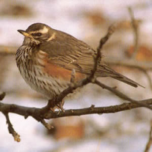 Adult Redwing - Sheffield
