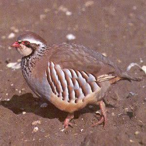 Red-legged Partridge - St Neots