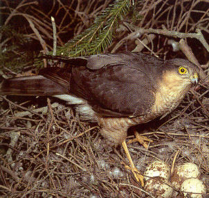 Adult Male Sparrowhawk - Stanion