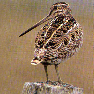 Snipe - Dundee