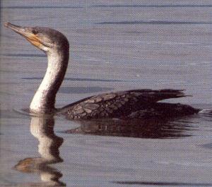 Juvenile Great Cormorant - Colchester