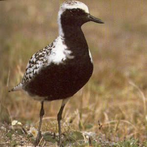Adult Black-bellied Plover