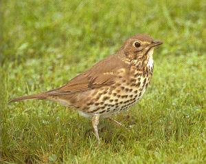 Adult Song Thrush<br />Glenariffe