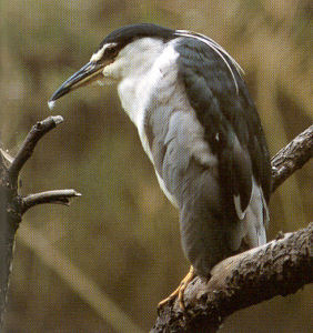 Adult Night Heron