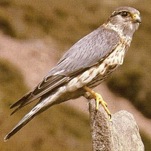 Male Merlin<br />Lulworth Cove