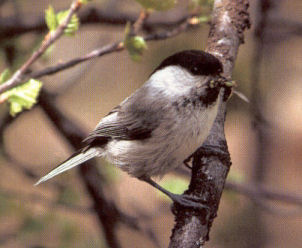 Willow Tit<br />Wrexham