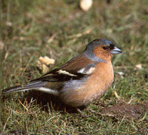 Male Chaffinch<br />Wrexham