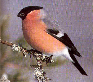 Adult Male Bullfinch<br />Chapel