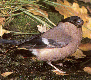 Female Adult Bullfinch