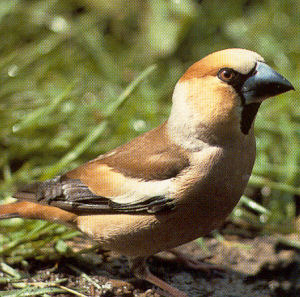 Adult Male Hawfinch<br />St Jean D~angely