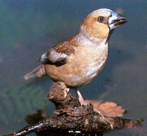 Female Adult Hawfinch