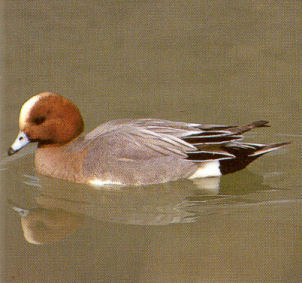 Male Adult Eurasian Wigeon