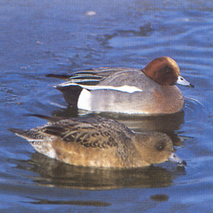 Female Adult Wigeon