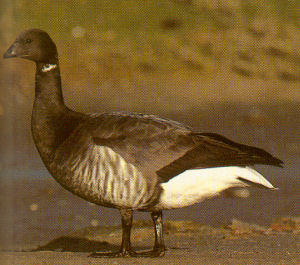 Adult Brent Goose