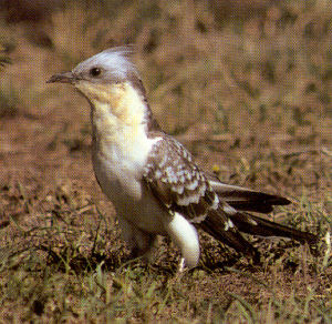 Adult Great Spotted Cuckoo