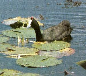 Crested Coot