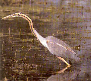Adult Purple Heron<br />Portlethen