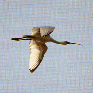 Juvenile Common Spoonbill