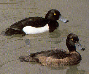 Male Tufted Duck<br />Poole