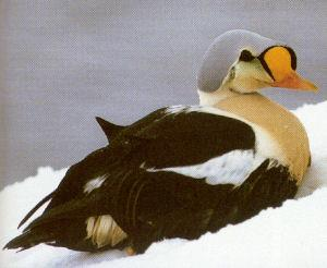 Male Adult King Eider