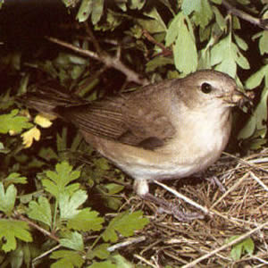 Adult Garden Warbler<br />Longwick, Princes Risborough
