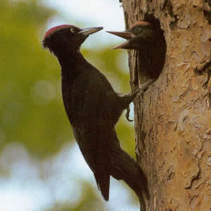 Male Black Woodpecker