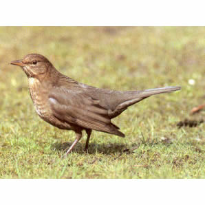 Female Adult Blackbird