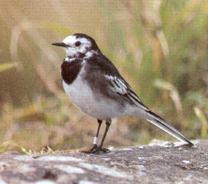 Adult Male Pied Wagtail<br />Wrexham