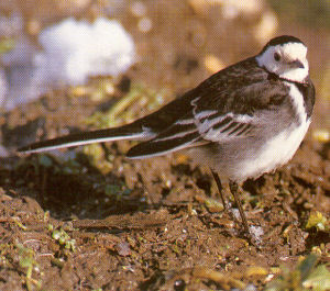 Adult Female Pied Wagtail<br />Castle Cary