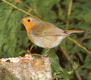 Adult Robin<br />Wrexham