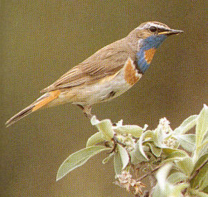 Male Adult Bluethroat