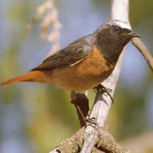 Male Redstart<br />Monmouth