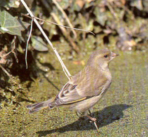 Female European Greenfinch