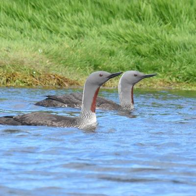Adult Red-throated Loon
