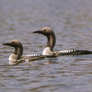 Adult Arctic Loon