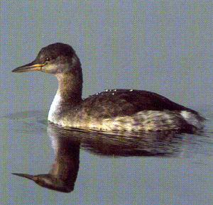 Adult Red-necked Grebe