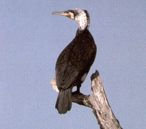 Adult Great Cormorant