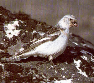 Female Adult Snow Bunting