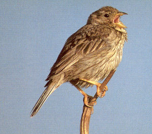 Adult Corn Bunting<br />Champeaux 50530